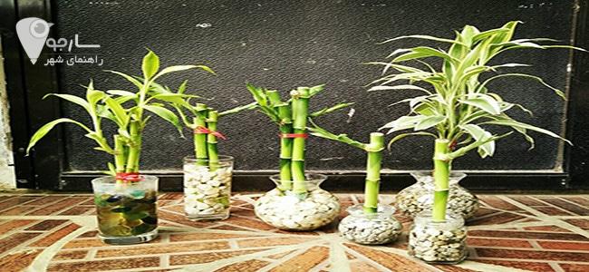 نحوه نگهداری بامبو از گیاهان آپارتمانی