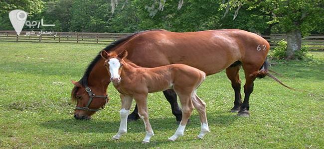 خرید اسب شیراز